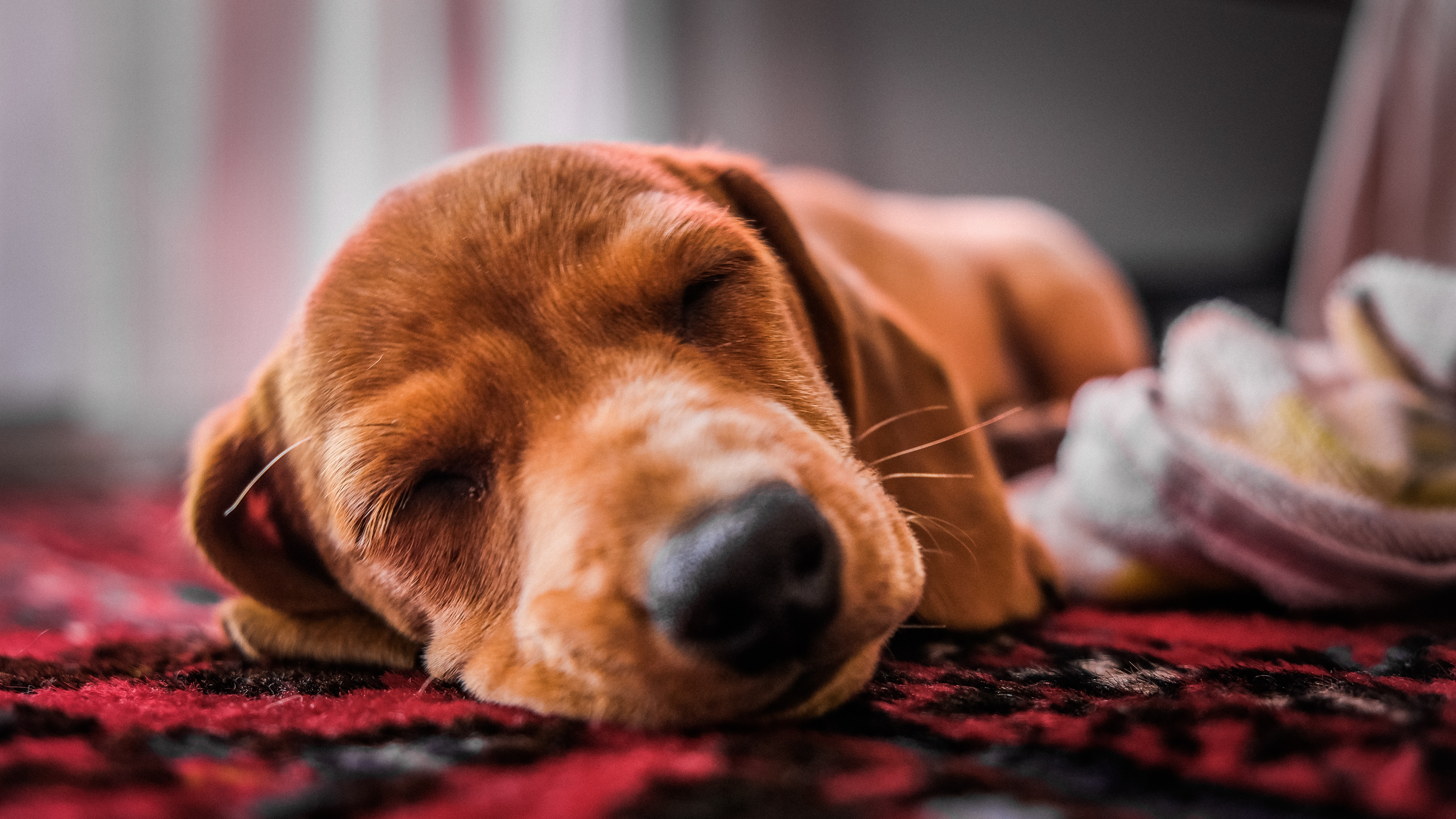 close-up-photo-of-dog-sleeping-on-the-floor.jpg
